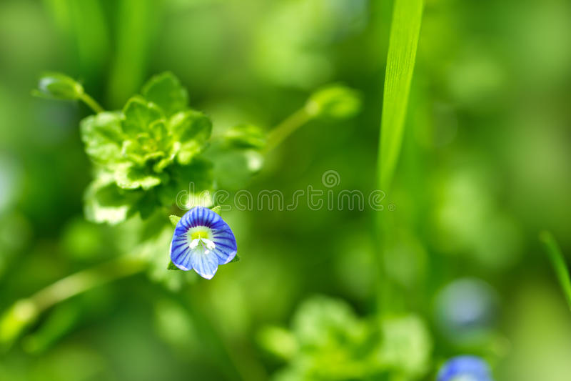 Mooi weinig blauwe bloem royalty-vrije stock foto