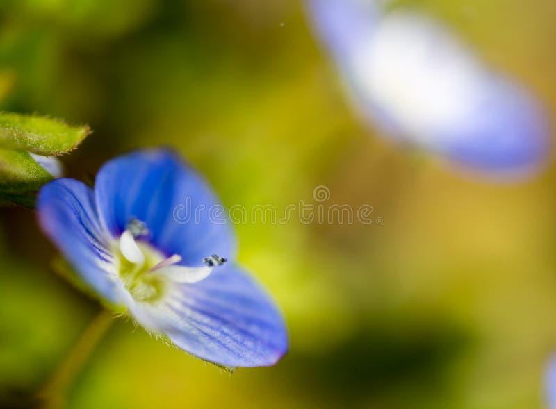Mooi weinig blauwe bloem op aard stock fotografie