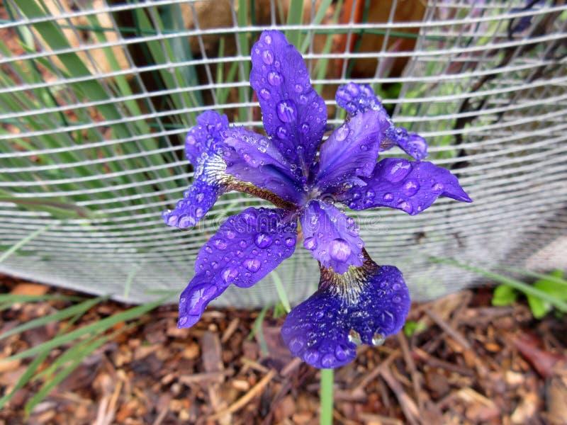 Mooi Weinig Iris Flower stock afbeeldingen