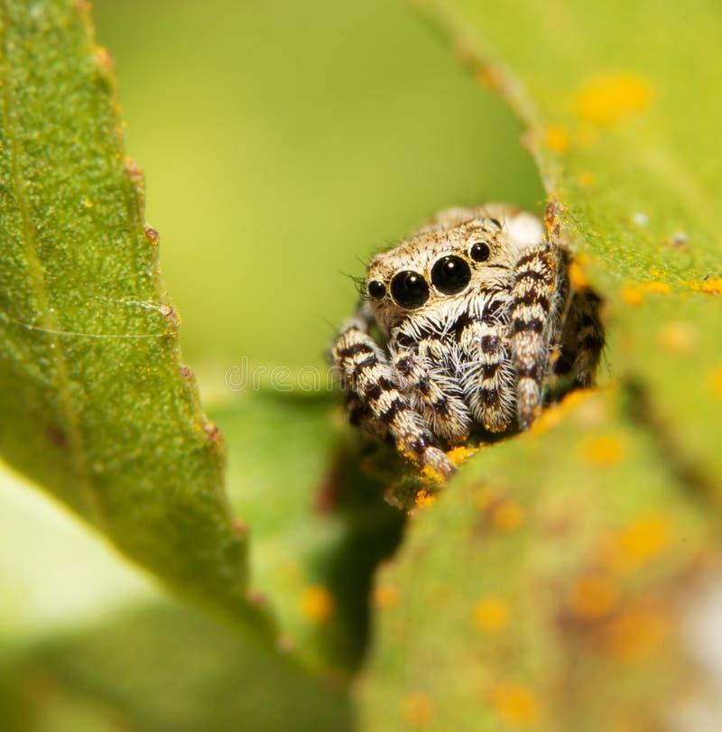 Mooi weinig Peppered-het Springen spin die op een blad rusten royalty-vrije stock afbeeldingen