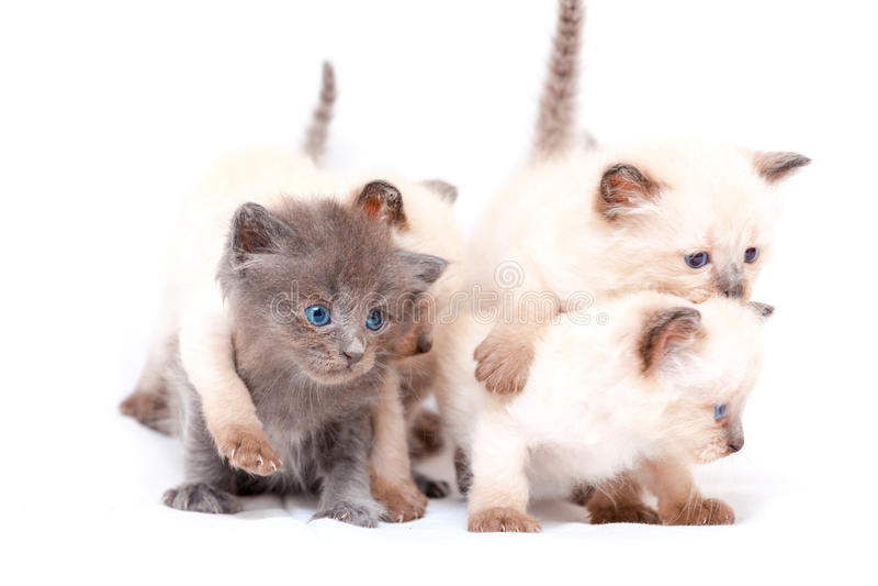 Mooi weinig siamese vier katjes op de andere witte achtergrond Geïsoleerdj op witte achtergrond stock foto