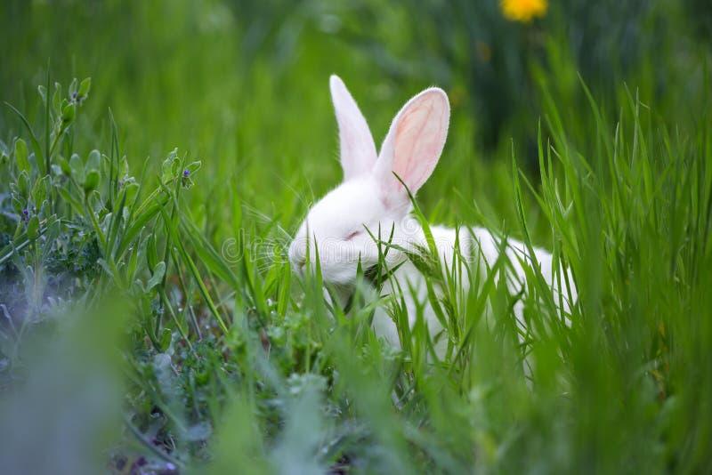 mooi weinig wit konijn in het gras stock afbeelding