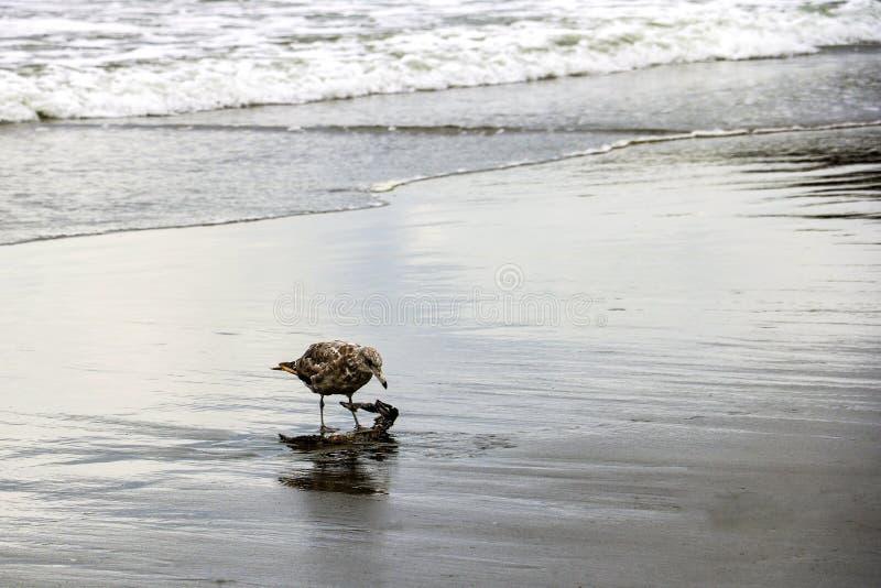 Mooi weinig zeemeeuw op het strand van het overzees of de oceaan stock fotografie