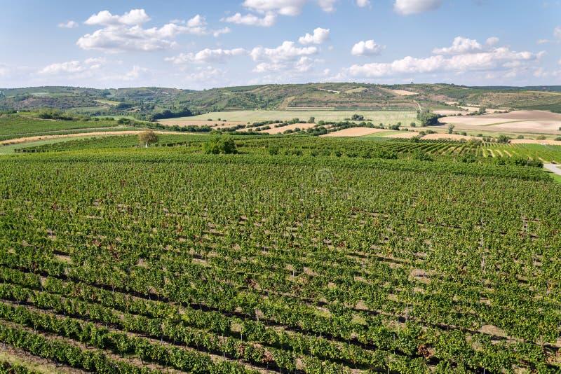 Mooi wijngaardlandschap met druiven klaar voor oogst, zonnige de herfstdag, Zuidelijk Moravië, Tsjechische Republiek stock fotografie