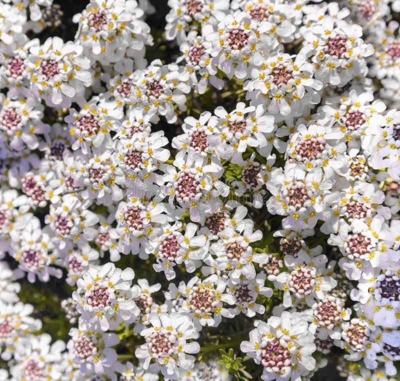 Mooi wit die altijdgroene rotsinstallatie bloeien royalty-vrije stock afbeeldingen