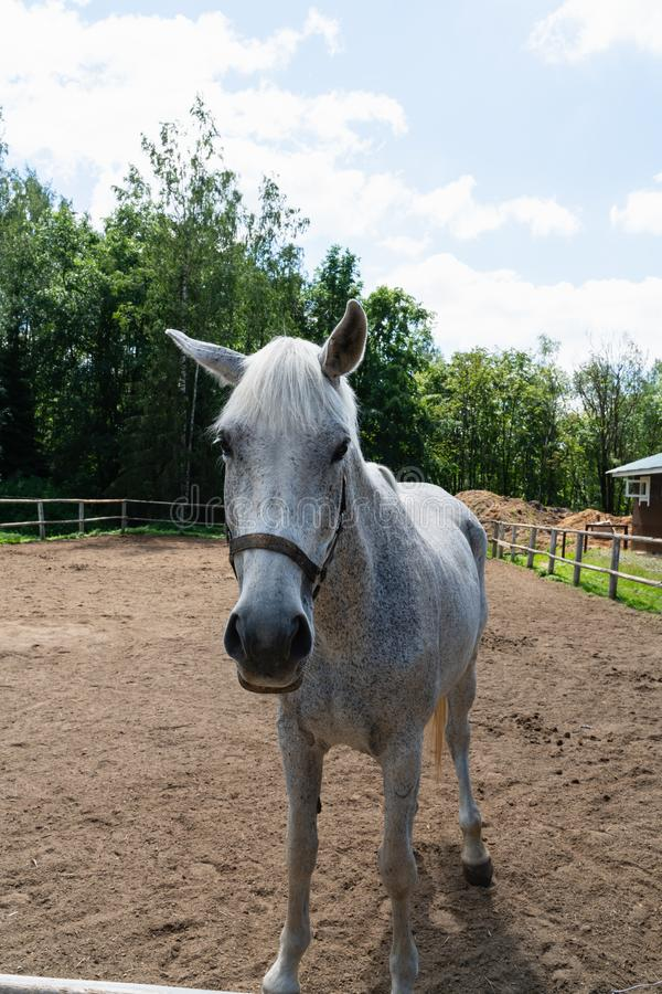 Mooi wit-grijs paard die op het gebied in aard lopen royalty-vrije stock fotografie