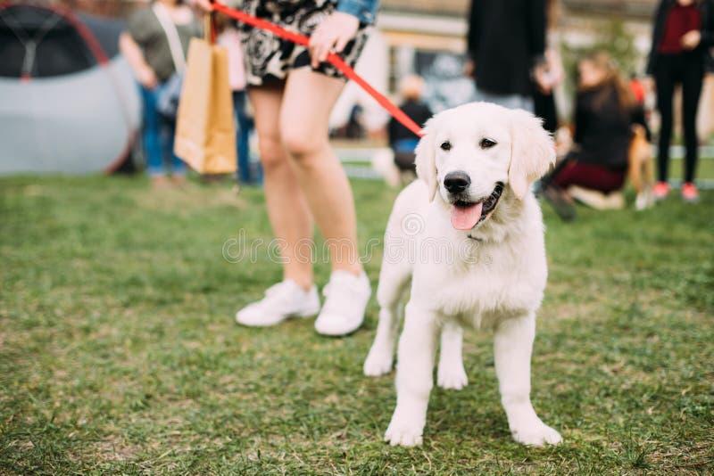 Mooi Wit het Puppyjong die van Hondlabrador zich dichtbij Vrouw in Groen Gras bevinden royalty-vrije stock foto's