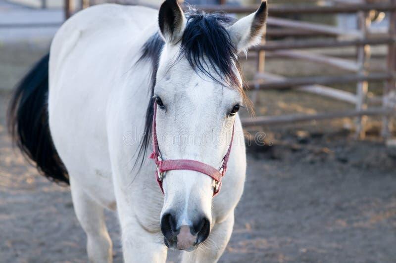 Mooi wit paard in stal stock foto's