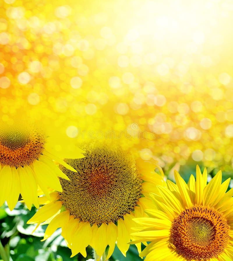 Mooi zonnebloemgebied in de zomer royalty-vrije stock foto's