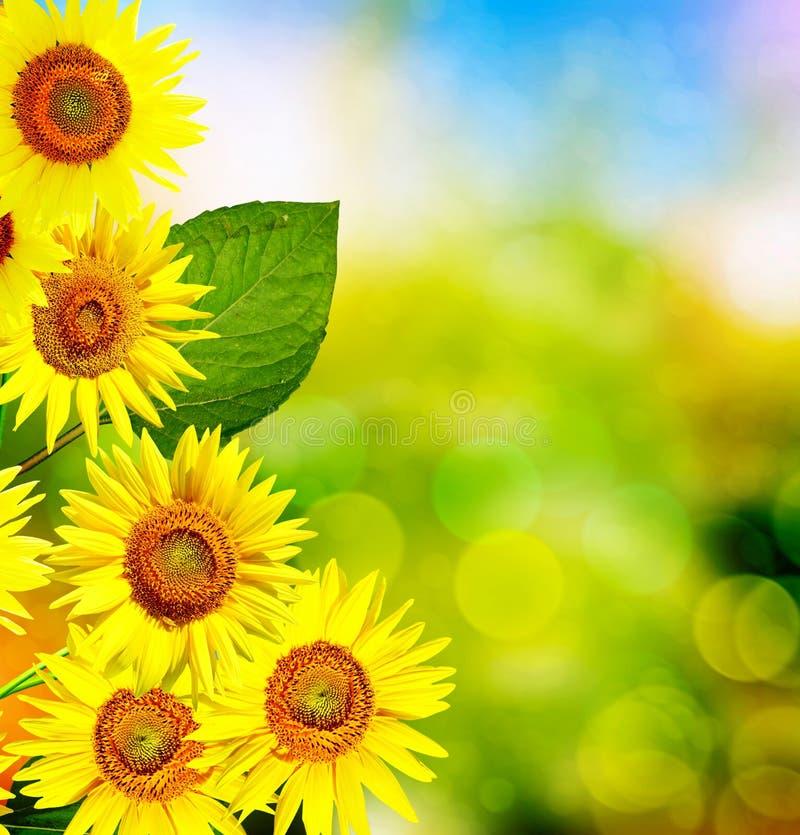 Mooi zonnebloemgebied in de zomer stock foto