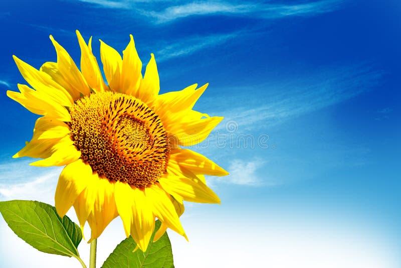 Mooi zonnebloemgebied in de zomer Gele bloemen stock afbeelding