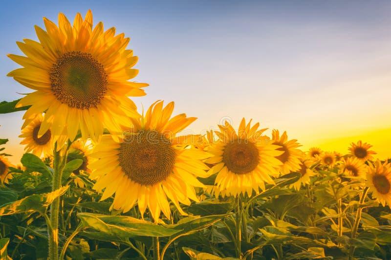Mooi zonnebloemgebied met mooie gele bloemen in zonsonderganglicht royalty-vrije stock afbeeldingen