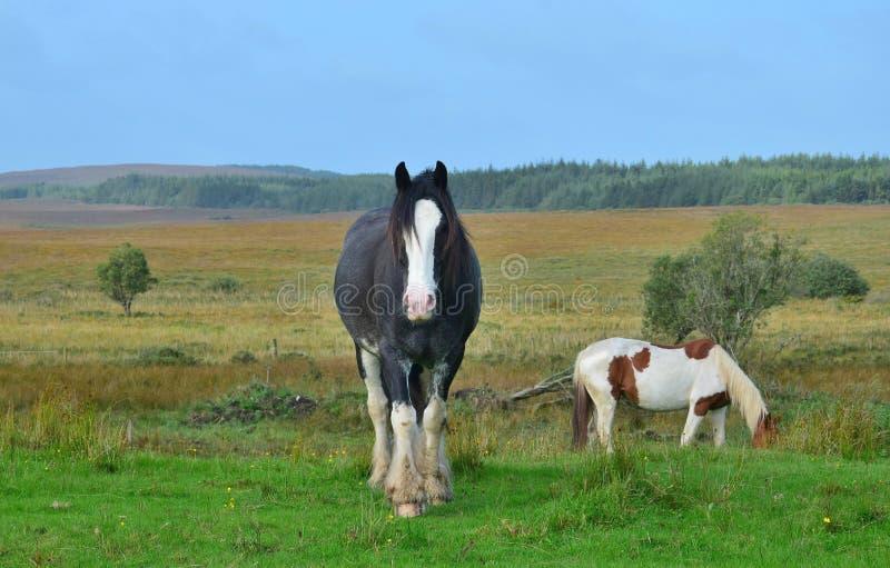 Mooi zwart paard in Ierland stock foto's