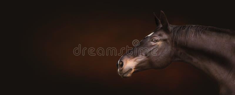 Mooi zwart paardhoofd, portret in profiel die, expressionally de camera op donkere achtergrond, plaats voor tekst, banner bekijke royalty-vrije stock afbeeldingen