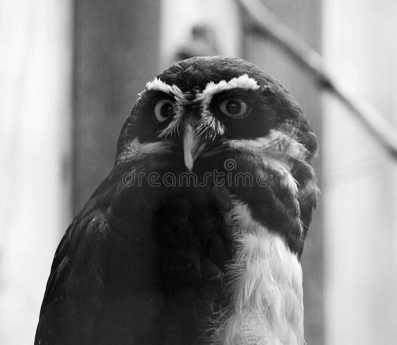 Mooi zwart-wit close-up van de uil stock foto