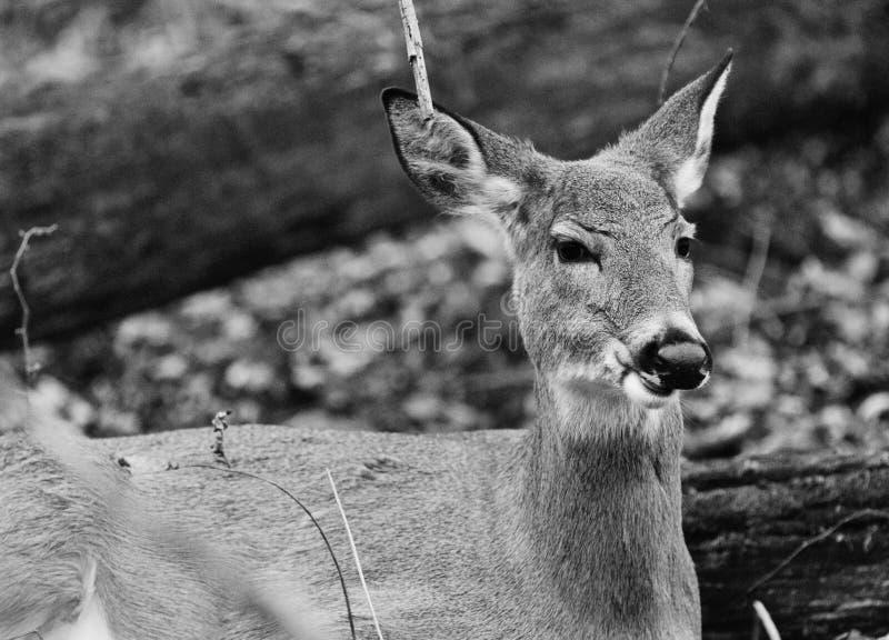 Mooi zwart-wit close-up van een hert royalty-vrije stock foto's