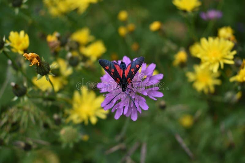 Mooi zwarte en rode kleureninsect op de violette bloem royalty-vrije stock foto's
