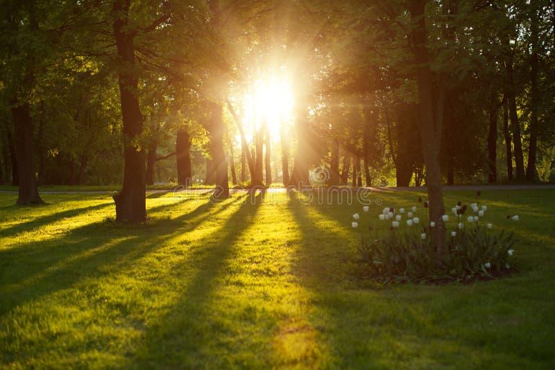 Mooie aard bij avond in de lentebos, bomen met zonstraal stock afbeeldingen