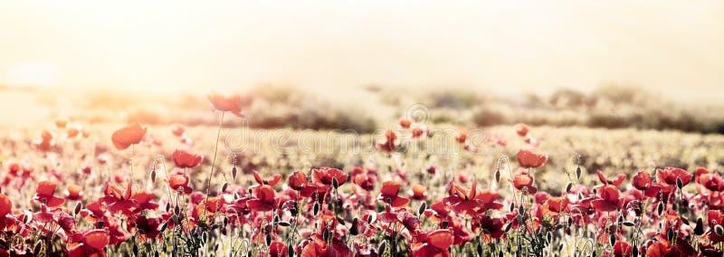 Mooie aard, mooi landschap, bloeiende papaver royalty-vrije stock afbeelding
