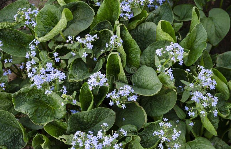 Mooie aardachtergrond Groene bladeren van de Siberische tuin voor uw ontwerp stock foto