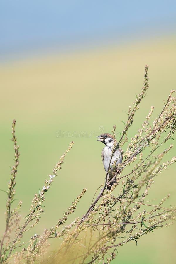 Mooie aardscène met de Muspasser van de vogel Europees-Aziatische Boom montanus stock afbeelding