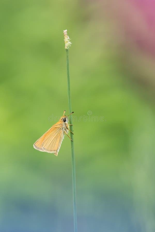 Mooie aardscène met lineola van de kapiteinsthymelicus van vlinderessex stock foto