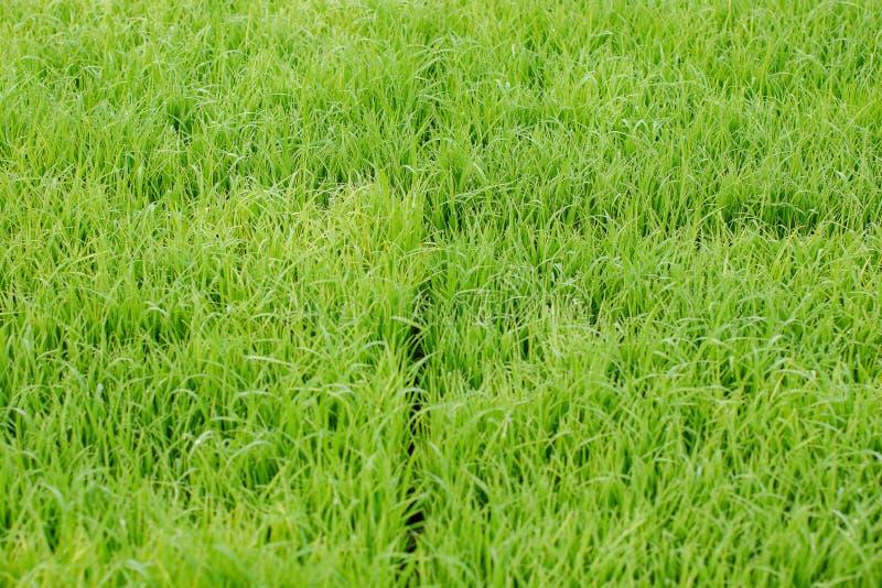 Mooie abstracte mening van jonge padieinstallaties, Mening van padie fie stock foto