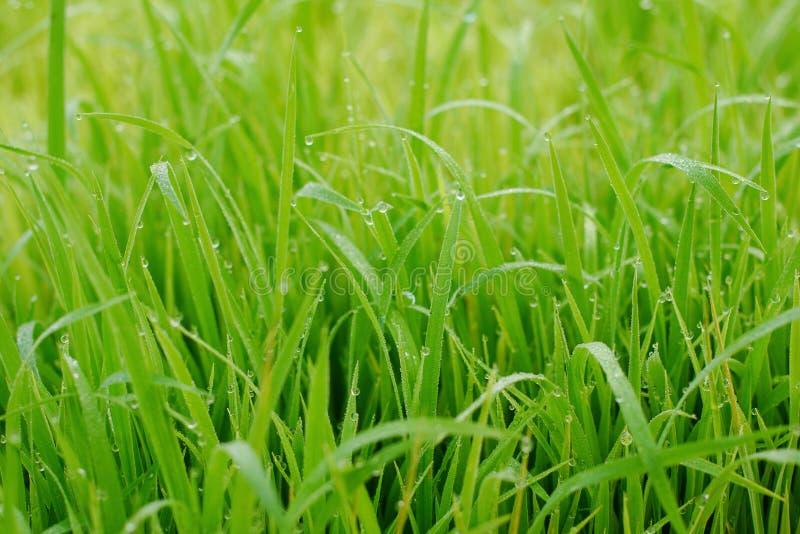 Mooie abstracte mening van jonge padieinstallaties, Mening van padie fie stock foto's