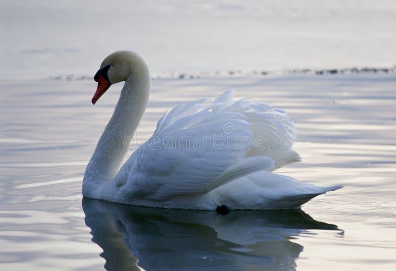 Mooie achtergrond met de zwaan in het meer stock afbeeldingen