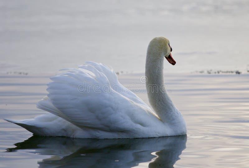 Mooie achtergrond met een zwaan die in het meer zwemmen stock afbeeldingen