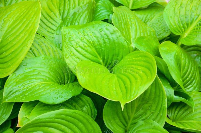 Mooie achtergrond van groene bladeren met waterdruppeltjes Achtergrond van bladeren na de regen royalty-vrije stock fotografie
