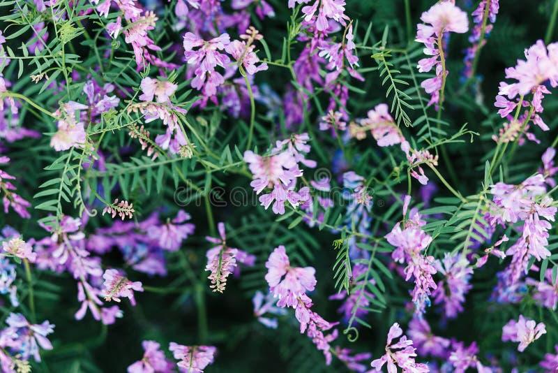 Mooie achtergrond van purpere wildflowers Natuurlijke texturen en achtergronden Macromening van abstracte aardtextuur en achtergr stock fotografie