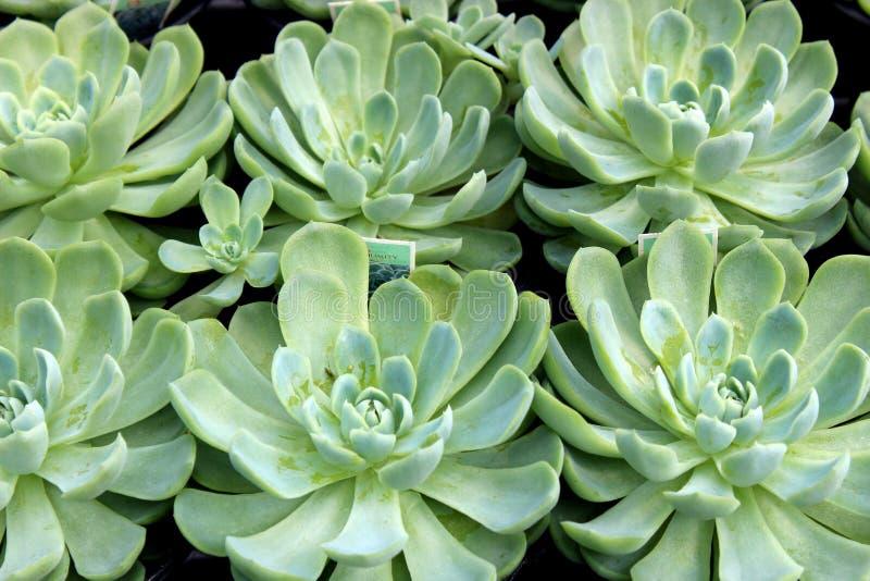 Mooie achtergrondafbeelding van dikke gezonde bladeren van succulents in zentuin stock foto's