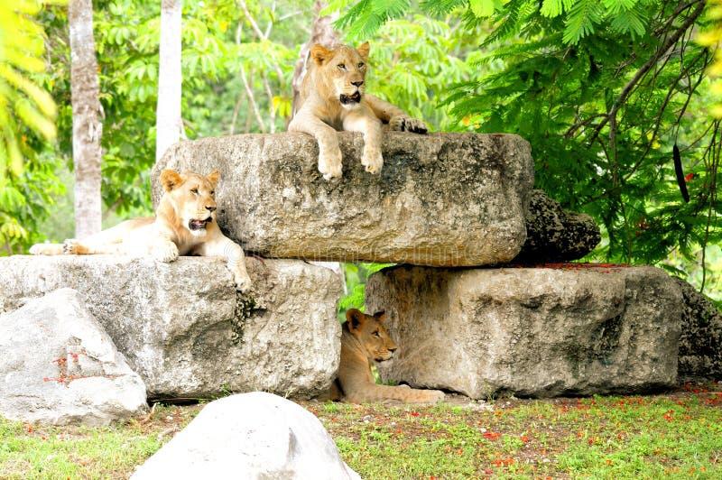 Mooie Afrikaanse leeuwen royalty-vrije stock foto