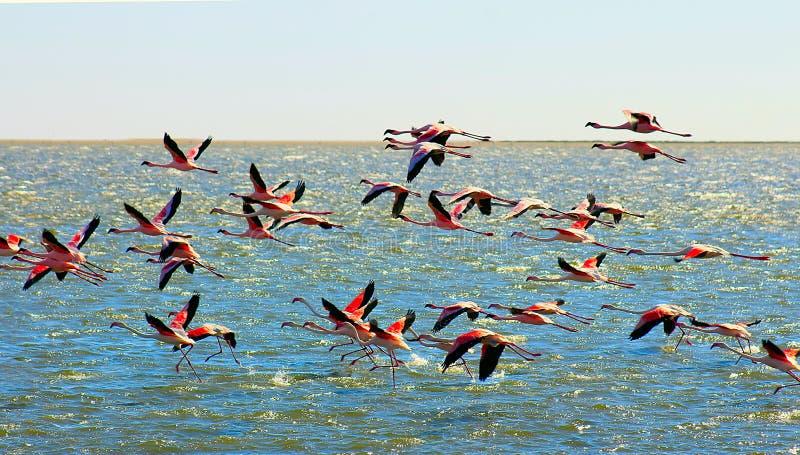 Mooie Afrikaanse roze flamingo'svliegen over het overzees stock foto's