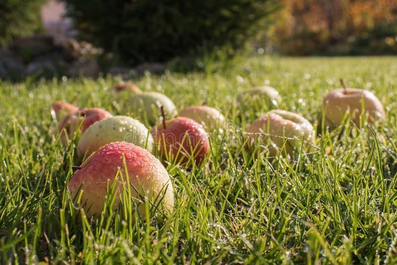 Mooie appelen in dalingen van dauw op groen gras royalty-vrije stock afbeelding
