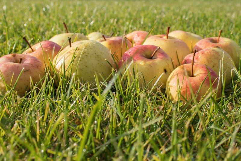 Mooie appelen in dalingen van dauw op groen gras stock afbeelding