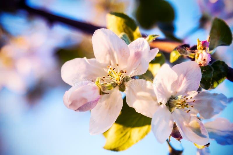 Mooie Apple-boomtak met bloemen en bladeren stock fotografie