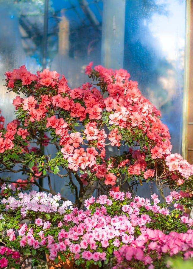 Mooie azalea's onder Russische sneeuw royalty-vrije stock foto