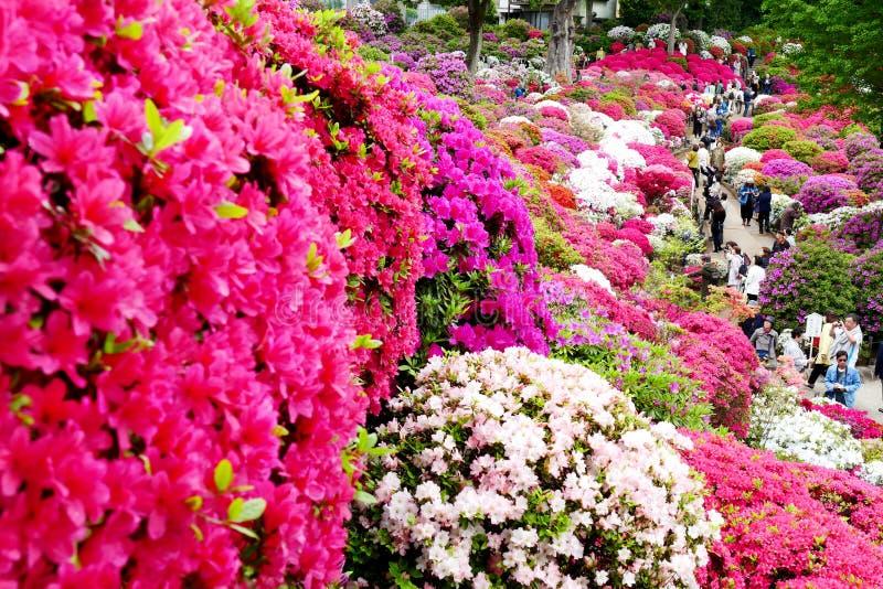 Mooie Azaleabloemen bij Nezu-Heiligdom, Tokyo stock afbeeldingen