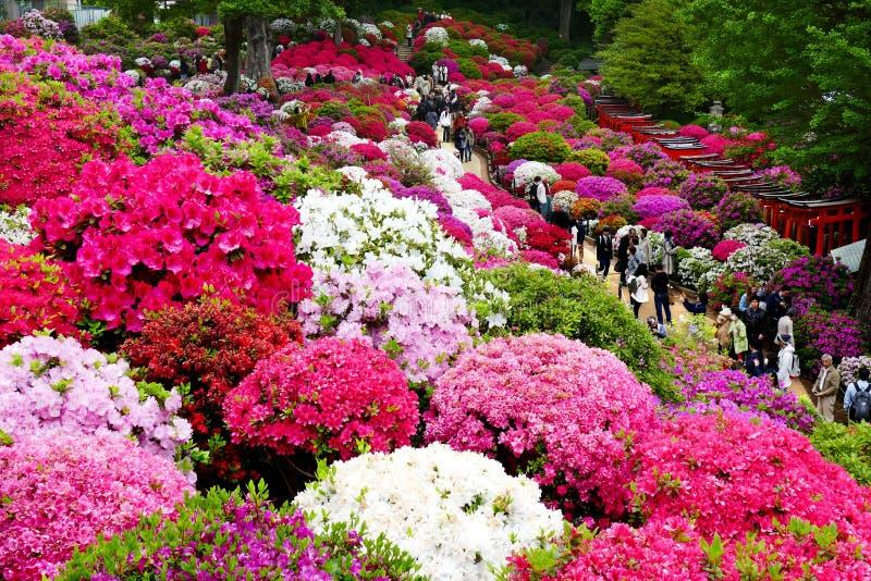Mooie Azaleabloemen bij Nezu-Heiligdom, Tokyo royalty-vrije stock foto's