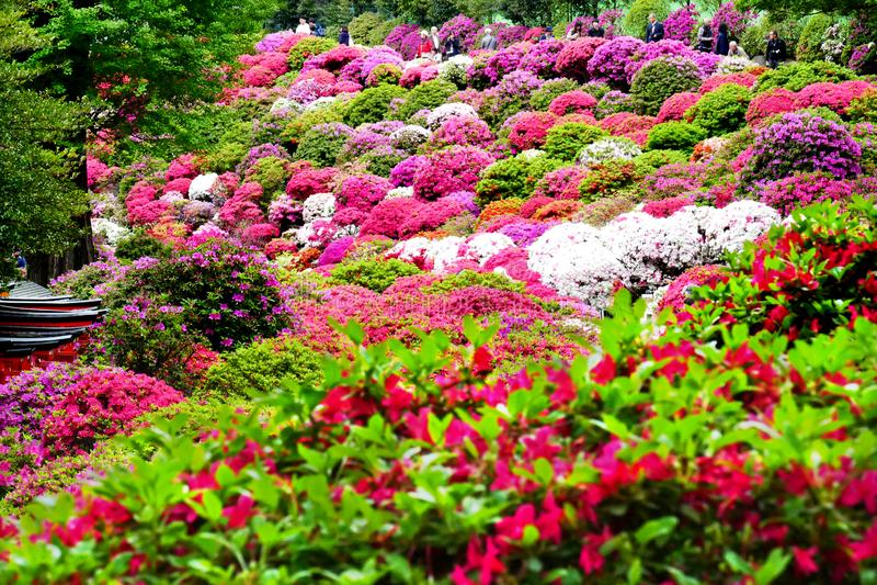 Mooie Azaleabloemen bij Nezu-Heiligdom, Tokyo stock afbeelding