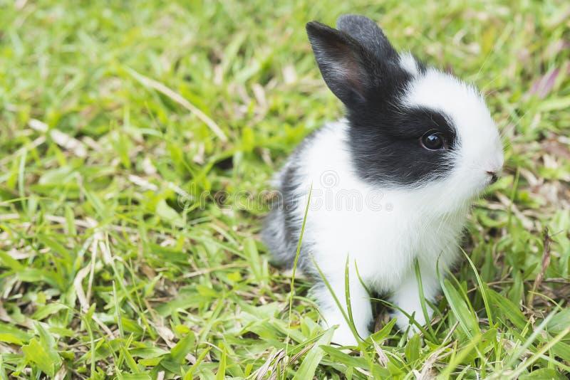 Mooie baby 2 weken Thais konijn stock foto