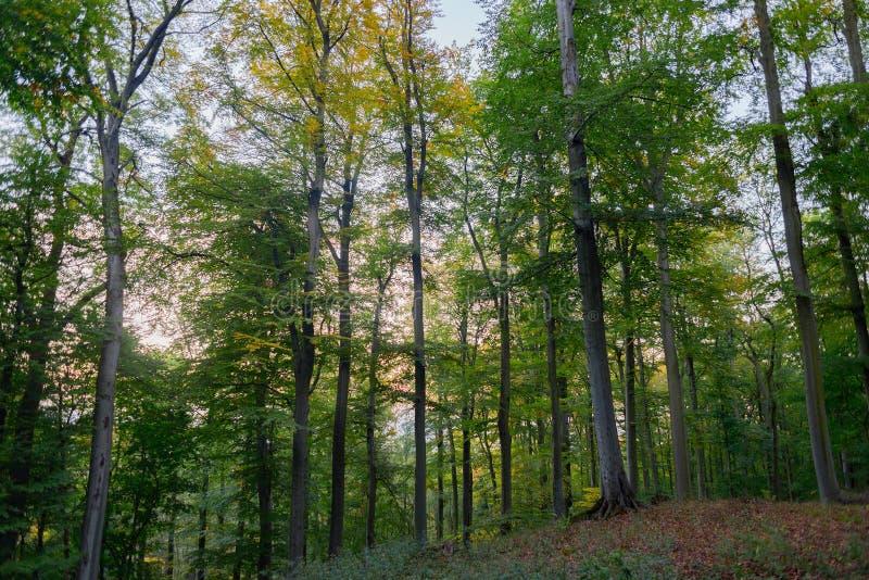 Mooie beuk bosbomen met groene bladeren, park royalty-vrije stock afbeelding