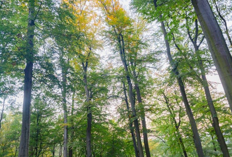Mooie beuk bosbomen met groene bladeren, park royalty-vrije stock fotografie