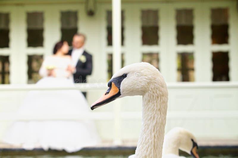 Mooie bevallige vogel witte Zwaan stock afbeelding