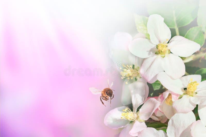 Mooie bij en tak van tot bloei komende appel in de lente bij Zonsopgang op blauwe en roze macro als achtergrond Het verbazen eleg royalty-vrije stock afbeelding