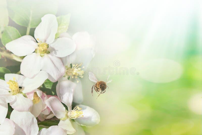 Mooie bij tijdens de vlucht en tak van bloeiende appelboom in de lente bij Zonsopgang op lichtblauwe en groene macro als achtergr royalty-vrije stock fotografie