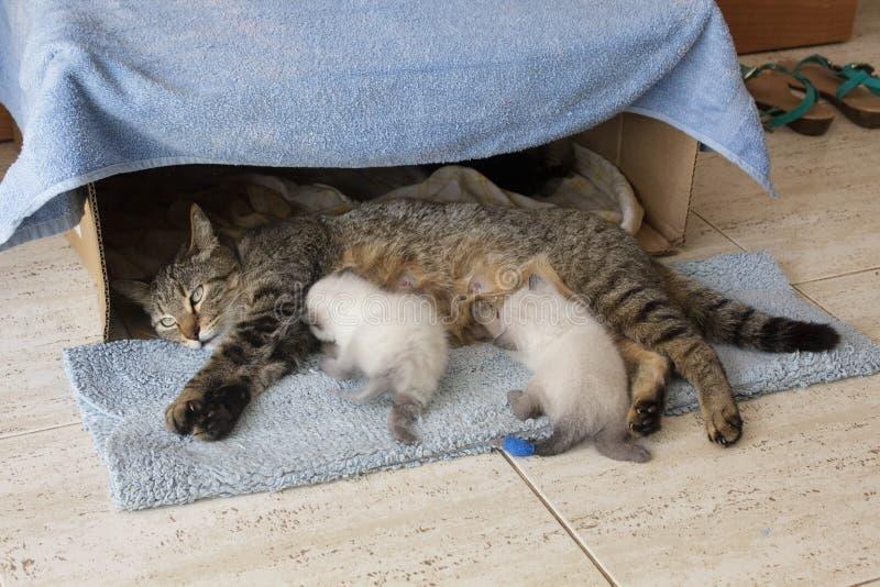 Mooie binnenlandse kat met pasgeboren pasgeboren Siamese katjeskatjes die in de doos van het kartonhuis slapen stock foto's