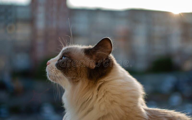 Mooie binnenlandse kattenzitting op de achtergrond van de zonsondergang stock afbeeldingen